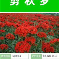 【剪秋罗】【种子出售批发 价格低 质量高 包成活率】