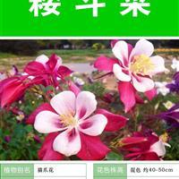 【大花耧斗菜】【种子出售批发 价格低 质量高 成活率高】