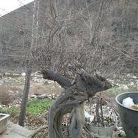 供应青檀品种 河南南召货源