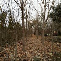 河南供应大批量规格齐全的七叶树