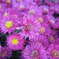 定州荷兰菊,荷兰菊价格|*选永兴苗圃