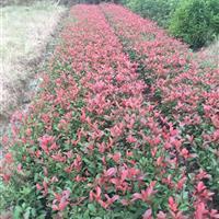 红叶石楠小苗价格、特供2-6公分红叶石楠、湖南红叶石楠球价格