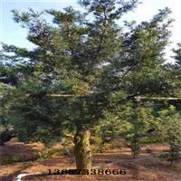 一批出土30公分開量10公分垃圾羅漢松,15公分垃圾羅漢松樹