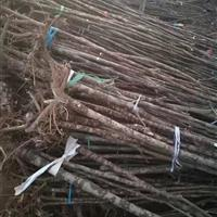 江苏地区供应构树苗,构树工程苗
