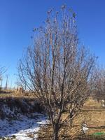 八棱海棠大树供应/八棱海棠大树图片