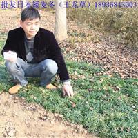 日本矮麦冬种植方法简介 玉龙草报价 江苏供应商