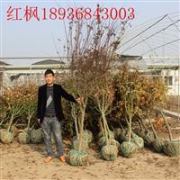 红枫新价格 红枫1-8公分基地 红枫供应商