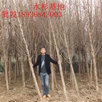 水杉1-10公分基地 水杉*新报价 水杉供应商