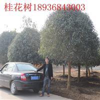 桂花树*新报价 桂花小苗1-10公分 桂花树江苏基地