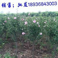 木槿苗最新价格 木槿1-6公分粗 江苏木槿基地批发
