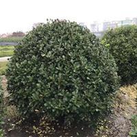 精品大叶黄杨球P80-250