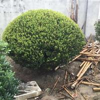 精品 瓜子黄杨球P80-200