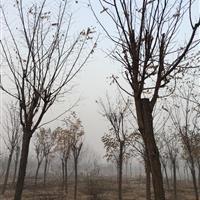 济宁地区供应10-12公分刺槐