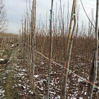 济宁地区供应2cm金叶复叶槭