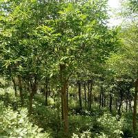 长期供应直径10以上的沉香树