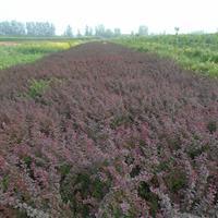 红叶小檗30-60高批发