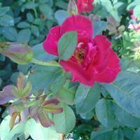 各品种月季批发 红黄帽月季 丰花月季 玫瑰