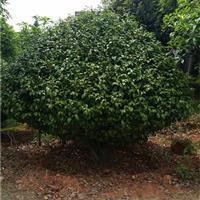 茶花价格湖南茶花球价格茶花树基地种植技术打造绿色家园