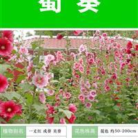 蜀葵种子 出售 批发 价格低 质量高 技术上门指导