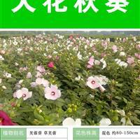 大花秋葵种子 出售 批发 价格低 质量高 技术上门指导