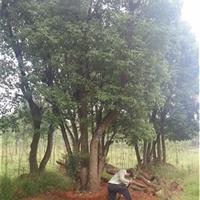 15公分移栽香樟20公分多杆香樟价格40-50公分全冠香樟