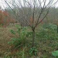 紅梅,櫸樹,香樟,樸樹