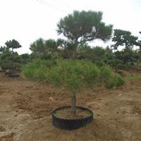 造型树  五针松 大阪松  黑松