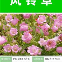 风铃草种子 出售 批发价格低 质量高  种植栽培 技术指导