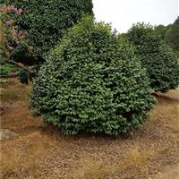 冠幅50公分、80公分、100公分茶花球,茶花球价格物美价廉
