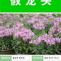 假龙头种子 出售 批发 价格低 质量高 种植技术上门指导