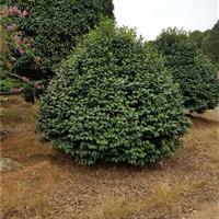 茶花园基地80公分高茶花球1米高茶花球1米2高茶花球茶花小苗