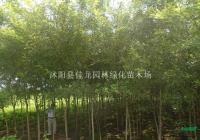 江苏国槐图片/国槐直销
