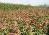 红帽月季供应/红帽月季图片