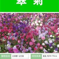 翠菊种子 出售 批发 价格低 质量高  种植技术上门指导