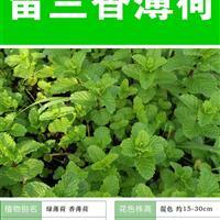留兰香薄荷种子 出售 批发 价格低 质量高 种植技术上门指导