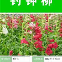 钓钟柳 种子 出售 批发 价格低 质量高  种植技术上门指导