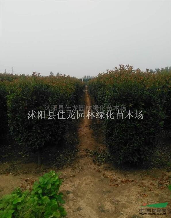 红叶石楠柱价格优惠/红叶石楠柱常年批发
