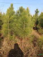 湿地松行情报价\湿地松图片展示