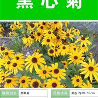 黑心菊種子 種植栽培 種植技術上門指導  種子出售