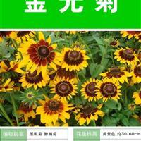 金光菊种子 种植栽培 种植技术上门指导   种子出售