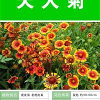 天人菊種子 種植栽培 種植技術上門指導  種子出售