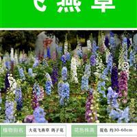 飞燕草种子  种植栽培 种植技术上门指导 种子出售