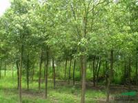 浙江榉树信息