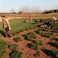 安徽滁州混播黑麦草大量低价供应