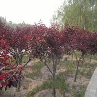 紫叶矮樱价格20元.紫叶矮樱高度200公分.地径3公分