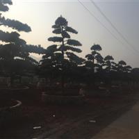 一批出土30公分开量10公分垃圾罗汉松,15公分垃圾罗汉松树