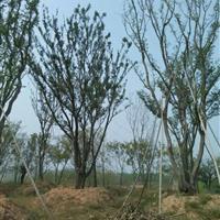 供应朴树、丛生朴树、黄连木、三角枫、蒙古栎