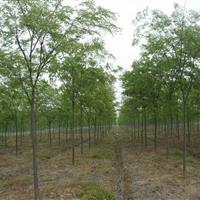 供应各种规格榉树