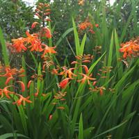 观赏草花,地被植物,火星花