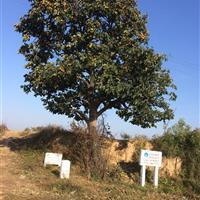 8公分柿子树冠幅2.5米_10公分柿子树全冠价格_8公分柿树